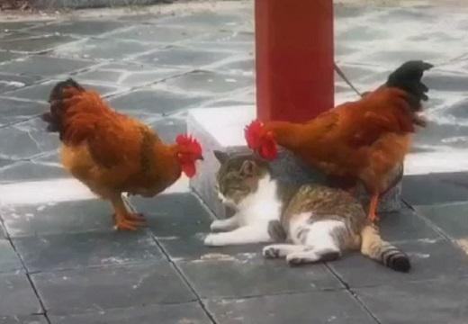 【動画】2羽のにわとりに不意打ちでつつかれた猫の反応が話題に「やさしいw」