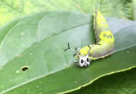 【カワイイ】お面つけたみたいなハロウィンっぽい青虫が話題w