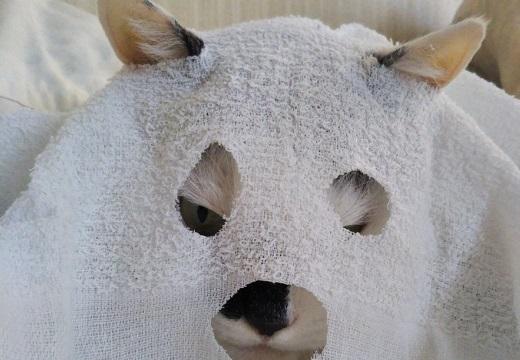 【地味ハロウィン】ドヤ顔でおばけ仮装する猫が話題「まんざらでもない感がw」