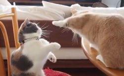【みじか~い!】手が届いてない猫のケンカが話題に「ずっと見てる」「可愛いすぎる」
