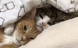 【布団めくったら‥】くっついて眠る3匹の猫がカワイイw