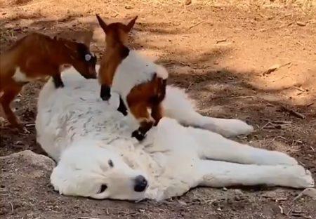 【ふわふわ】大型犬に戯れる小さい2匹、微笑ましすぎる動画が話題