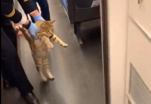 【動画】電車に乗り込んじゃった猫、ヨチヨチ歩きで連れ出される様子がカワイイw