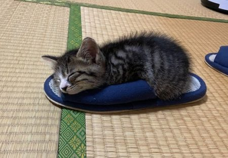 【もこもこ】スリッパが大好きな子猫の動画像が話題「スリッパになりたい!」