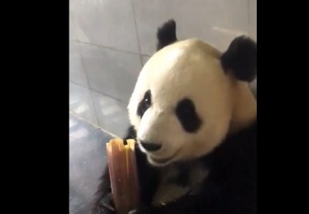 【動画】竹をばりばり食べるパンダが話題「おっさん?!w」