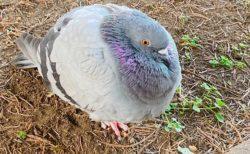 【ふわふわ】まん丸になった鳩、おまんじゅうみたいな可愛さw