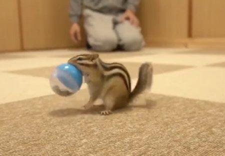 【凄い】ボールをくわえて戻ってくシマリスのボール遊びが話題「めちゃ賢い!」