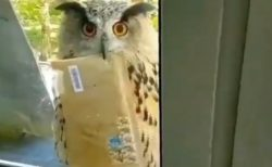【動画】窓の枠に止まったフクロウ、郵便物を持ってるだけですごく可愛いw