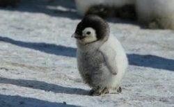【画像】ひたすら可愛いペンギンの赤ちゃん達が話題