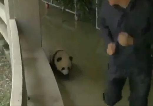 【動画】おじさんとパンダのおいかけっこが話題「にやけちゃう」「ほっこりするw」