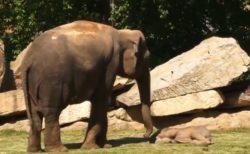 【動画】赤ちゃんゾウの爆睡に困った母さんゾウ、飼育員を呼びに行くw
