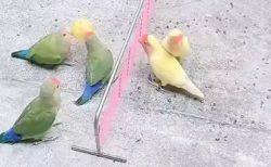 【緑 vs 黄】バレーボールで遊ぶ鳥の動画が話題「すごーい!!」「可愛い」