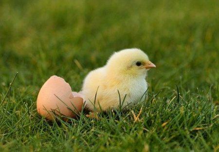 【動画】1羽のひよこがアヒルになるまで・・成長記録がカワイイすぎるw