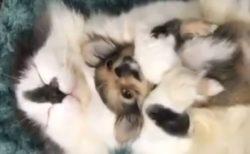 【動画】大きな猫に抱っこされるチワワ、最高にかわいいw