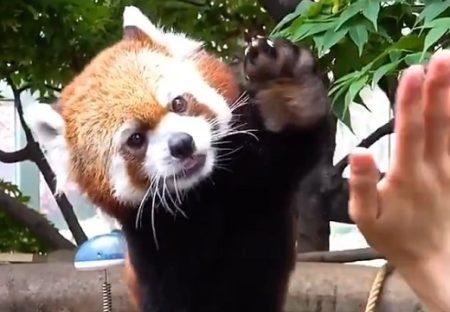 【動画】レッサーパンダの連続ハイタッチがたまらなく可愛いw