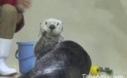 【動画】鳥羽水族館の人気ラッコ メイちゃん、新技「セクシーポーズ」が可愛いw