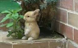 【動画】置物みたいに可愛いウサギが話題「ピーターラビットみたいw」