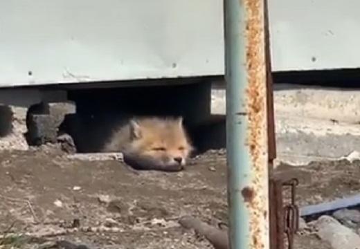 【動画】顔だけ出して昼寝するキツネが話題「寝顔が超かわいい~」