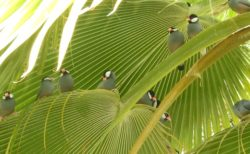 【天国?!】やしの木にものすごく大勢の文鳥が・・めちゃくちゃカワイイ!