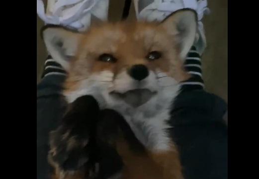 【動画】抱っこされて甘えるキツネがびっくりする程かわいいw