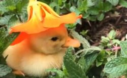 【動画】スナフキンの帽子をかぶったひよこが話題「寝ちゃうんだw」「声出た!」