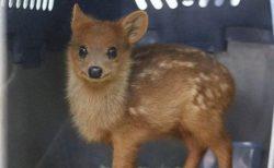 世界最小のシカの赤ちゃんが話題「イーブイ!」「目がクリクリw」
