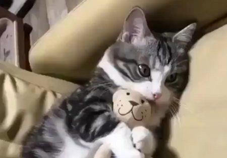 【w】お気に入りのぬいぐるみを絶対離さない美人猫が話題
