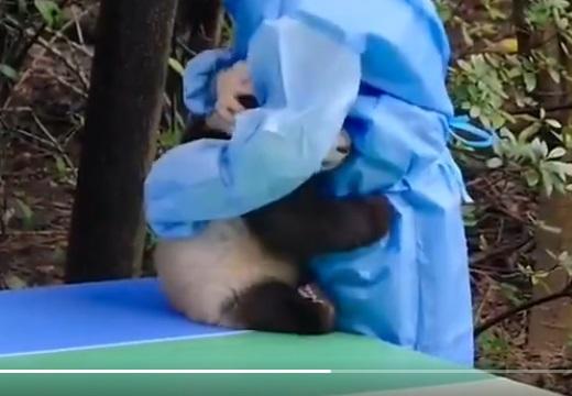 【動画】怖い思いをした小パンダ、飼育員にしがみつく様子がめちゃ可愛い