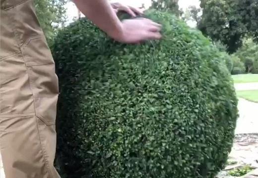 【プロの技】庭師さんの剪定、凄すぎると話題に「ふわふわ!」「触ってみたい」