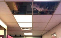 【上からねこ】天井を猫用に改造したお店が話題「めっちゃ見てるw」