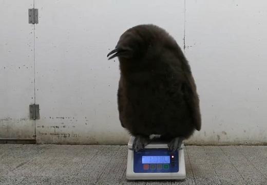 【ちょこん】子供ペンギンの体重測定風景が話題に「自分で乗るんだw」