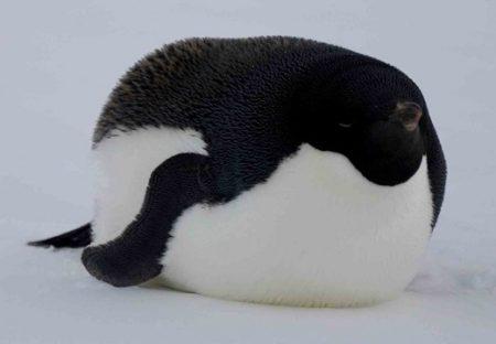【w】まるまる太ったペンギンが話題「アザラシみたい」「フグにしか見えないw」