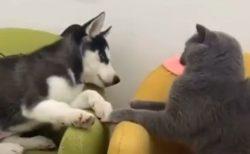 【動画】子ハスキーと猫のケンカが話題「ネコが凄いw」