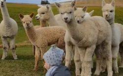 【w】人間の赤ちゃんに興味津々なアルパカ集団が話題