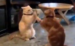 【動画】延々と手遊びする2匹の猫が話題「これはやられたw」