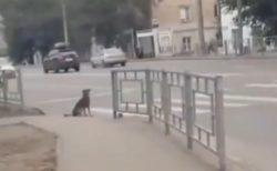【動画】信号を理解しルールを守る犬が話題「すごく賢い!」「かわいいw」