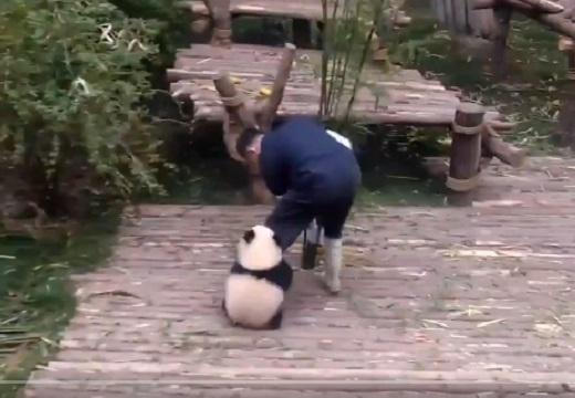 【動画】飼育員さんが大好きな小パンダが話題「しがみつくところ可愛いw」