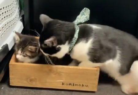【w】どうしても弟といっしょに寝たい兄ネコ、行動が可愛いすぎる