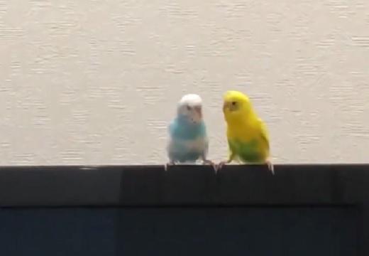 【動画】行動が可愛い2匹のインコが話題「ずっと見てるw」