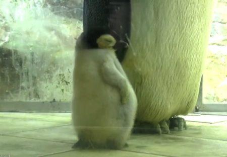 【動画】ねむくて‥立ったままウトウトしてる赤ちゃんペンギン、可愛いすぎるw