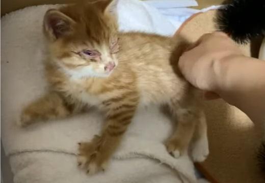 【泣いた】失明覚悟で保護された子猫、1か月の愛情と治療でこんなにイケメン猫に!