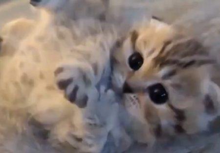 【あざとい】甘えたい子猫の撫でて欲しいアピールが可愛いすぎるw