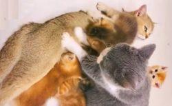 【動画】子猫に混じりふみふみしてた猫さん、ママ猫にガチギレされてしまうw