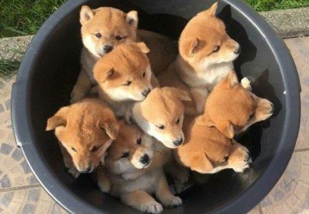 【柴】8匹の子犬がはいった容器、可愛いすぎるw