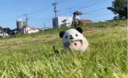 【動画】パンダの帽子をかぶって散歩するハリネズミが可愛いすぎるw