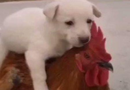 【ちからもち】子犬をおんぶして歩くニワトリが話題「子犬の顔がかわいいw」