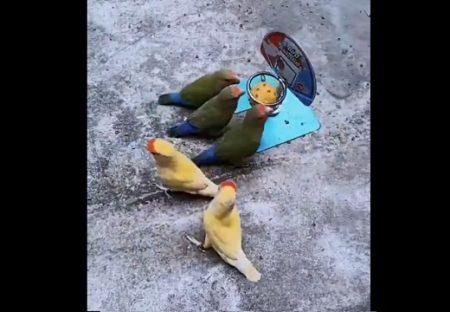 【緑 vs 黄】規則を理解しバスケをして遊ぶ鳥の動画が話題「すごーい」「めちゃ賢い」