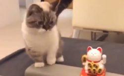 【w】動く招き猫を凝視する猫、おもむろに真似を始める