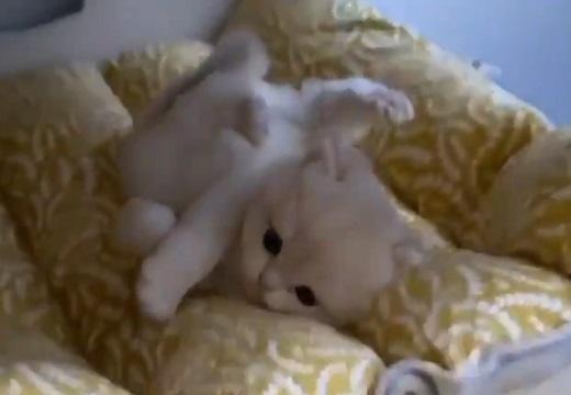 【?!】寝床をそっと覗いたら‥すごい格好してるふわふわ子猫の動画がカワイイw