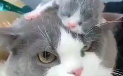 【動画】ママの頭の上で眠る子猫と、起こさないよう固まってるママ猫が話題